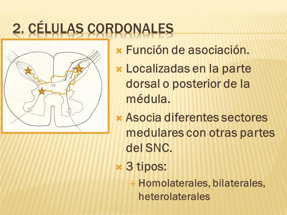 Función de asociación. Localizadas en la parte dorsal o posterior de la médula. Asocia diferentes sectores medulares con otras partes del SNC. 3 tipos