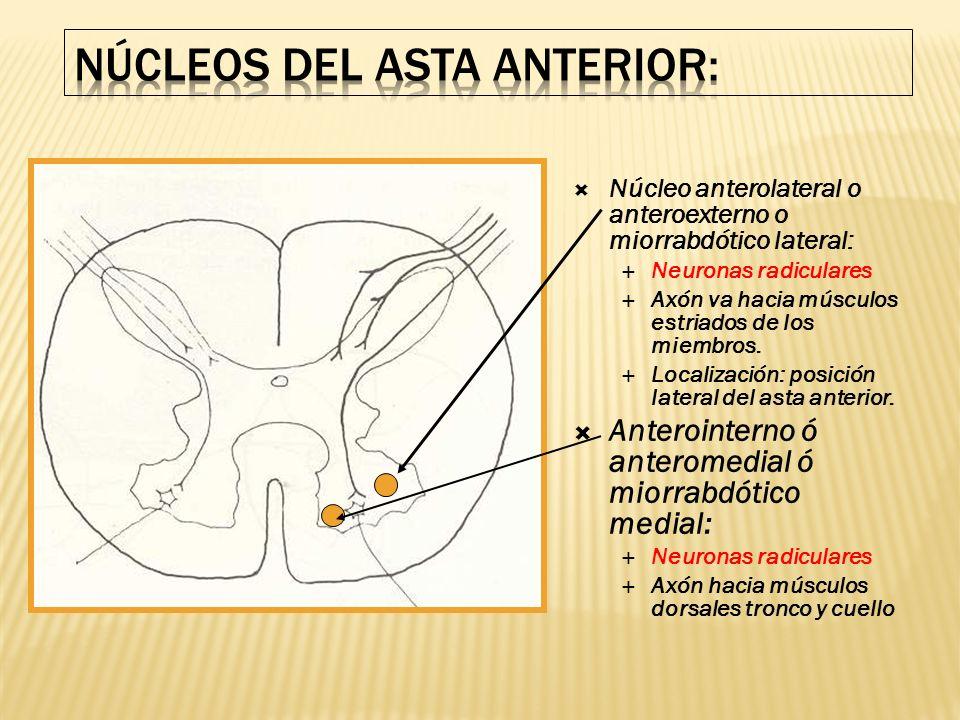 Núcleo anterolateral o anteroexterno o miorrabdótico lateral: Neuronas radiculares Axón va hacia músculos estriados de los miembros. Localización: pos