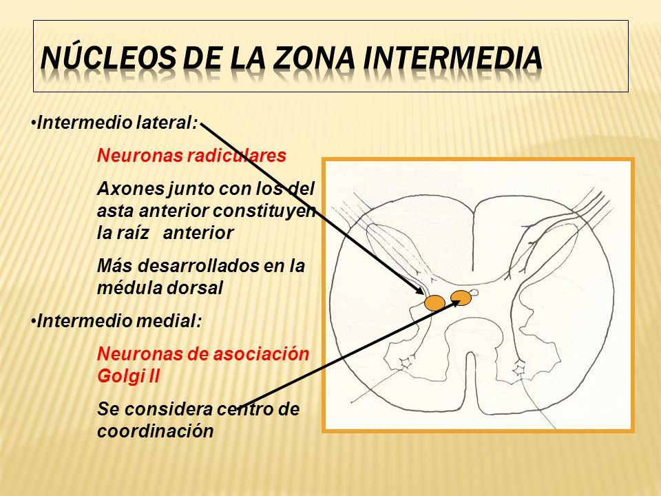 Intermedio lateral: Neuronas radiculares Axones junto con los del asta anterior constituyen la raíz anterior Más desarrollados en la médula dorsal Int
