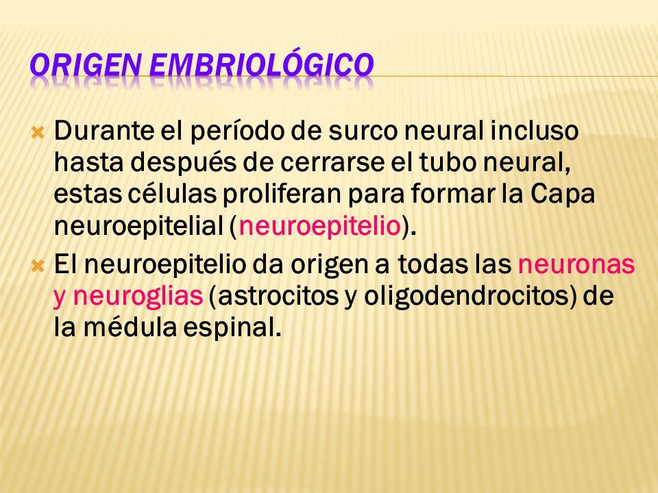 Microglia: Núcleo denso y ovoideo con cuerpo celular y prolongaciones con espinas puntiagudas.