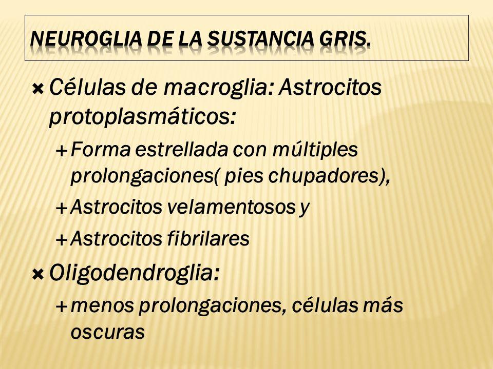 Células de macroglia: Astrocitos protoplasmáticos: Forma estrellada con múltiples prolongaciones( pies chupadores), Astrocitos velamentosos y Astrocit