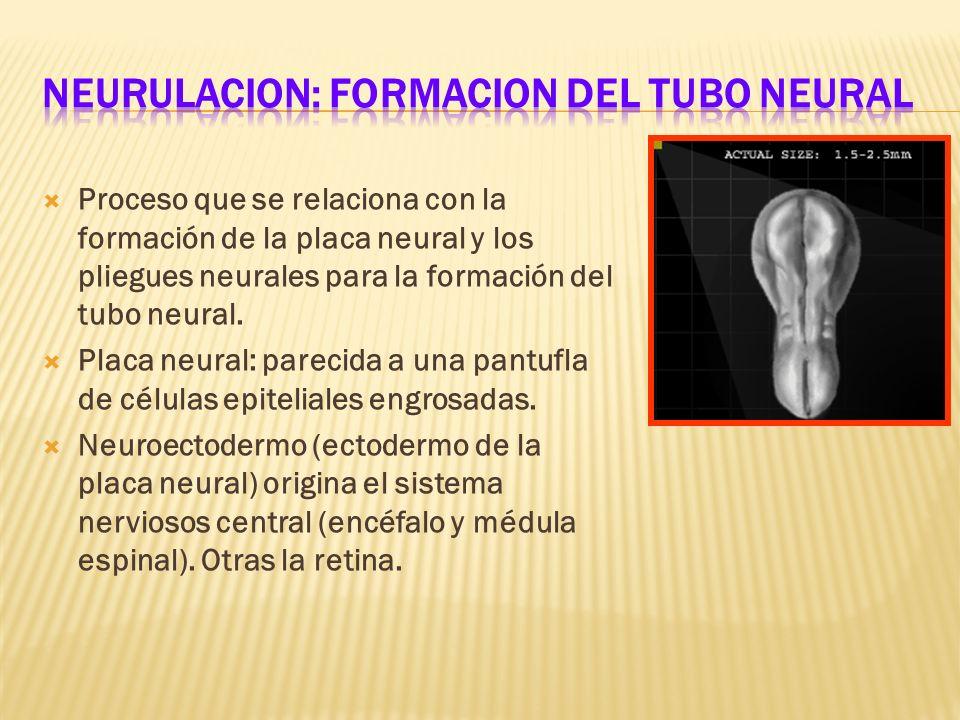Proceso que se relaciona con la formación de la placa neural y los pliegues neurales para la formación del tubo neural. Placa neural: parecida a una p