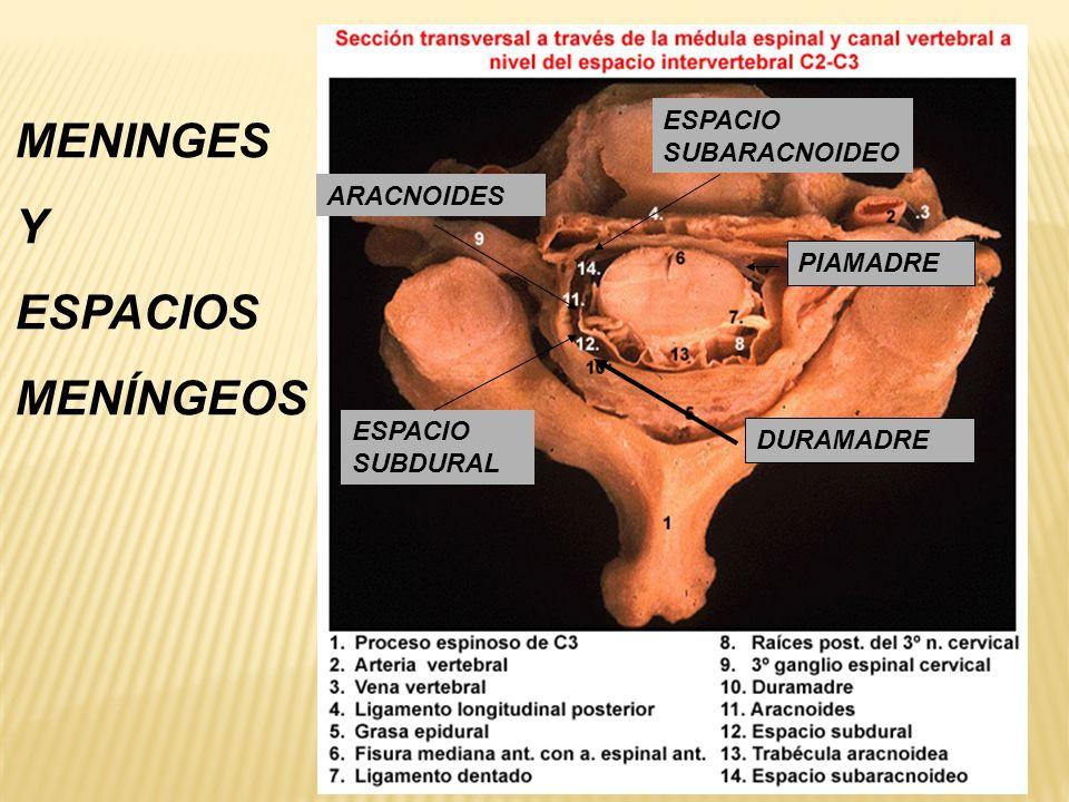 DURAMADRE ARACNOIDES ESPACIO SUBDURAL ESPACIO SUBARACNOIDEO PIAMADRE MENINGES Y ESPACIOS MENÍNGEOS