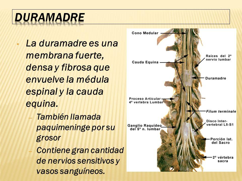 La duramadre es una membrana fuerte, densa y fibrosa que envuelve la médula espinal y la cauda equina. – También llamada paquimeninge por su grosor –