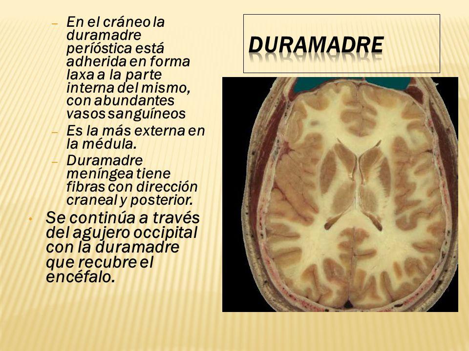 – En el cráneo la duramadre períóstica está adherida en forma laxa a la parte interna del mismo, con abundantes vasos sanguíneos – Es la más externa e