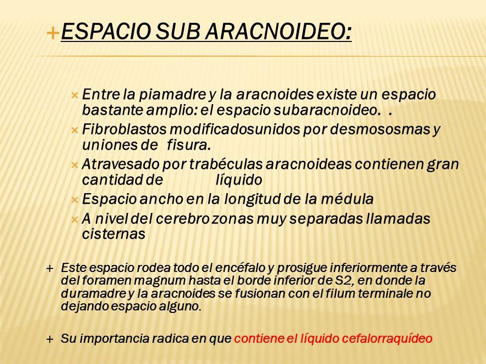ESPACIO SUB ARACNOIDEO: Entre la piamadre y la aracnoides existe un espacio bastante amplio: el espacio subaracnoideo.. Fibroblastos modificadosunidos