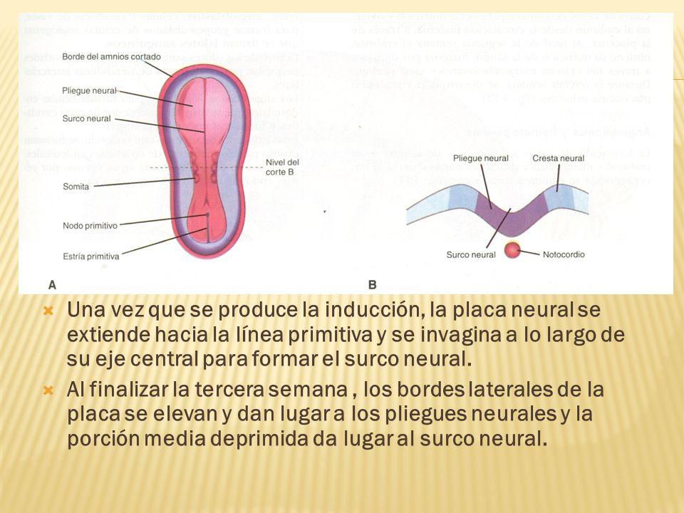 Una vez que se produce la inducción, la placa neural se extiende hacia la línea primitiva y se invagina a lo largo de su eje central para formar el su
