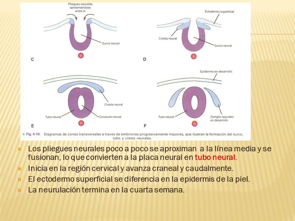 Los pliegues neurales poco a poco se aproximan a la línea media y se fusionan, lo que convierten a la placa neural en tubo neural. Inicia en la región