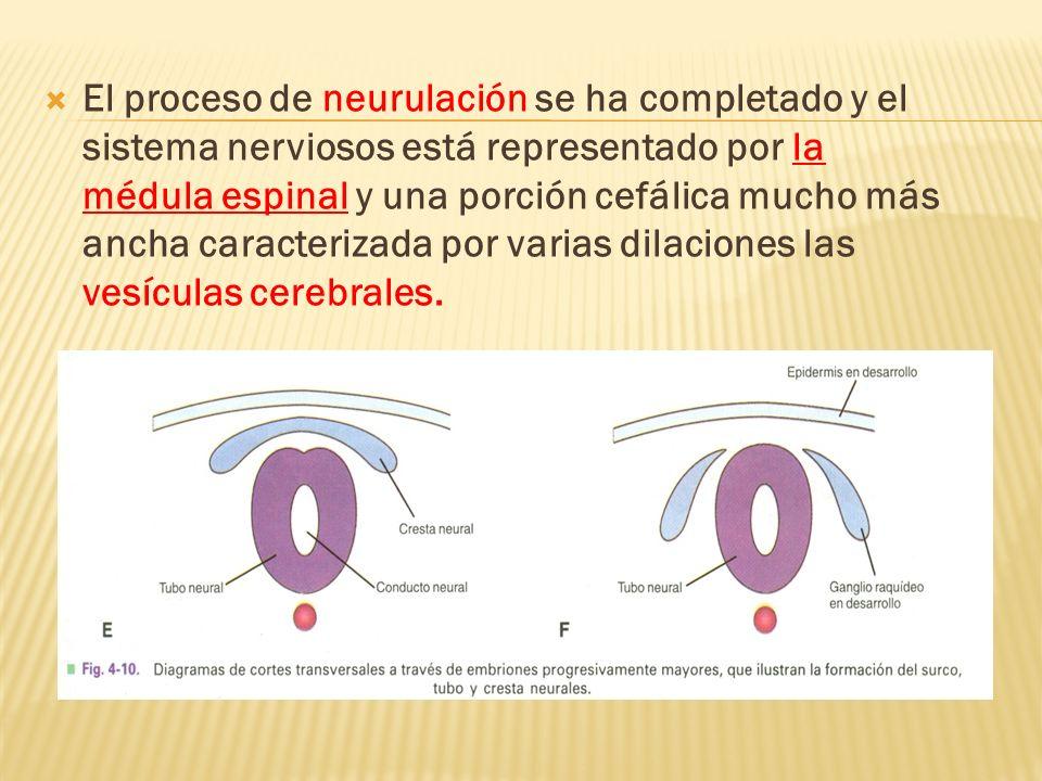 El proceso de neurulación se ha completado y el sistema nerviosos está representado por la médula espinal y una porción cefálica mucho más ancha carac