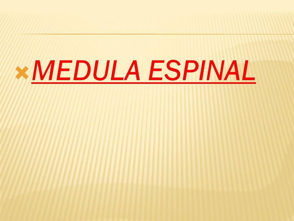 La médula espinal, al igual que el encéfalo, está envuelta por las meninges: duramadre, aracnoides y piamadre.