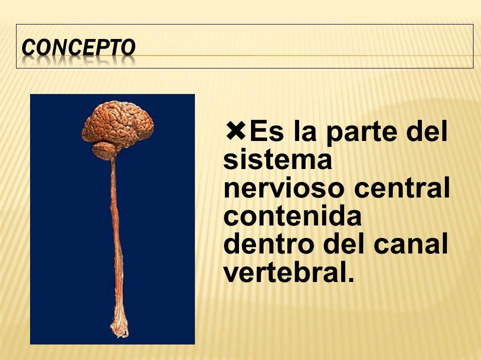 Es la parte del sistema nervioso central contenida dentro del canal vertebral.