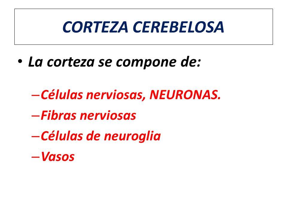 CORTEZA CEREBELOSA La corteza se compone de: – Células nerviosas, NEURONAS. – Fibras nerviosas – Células de neuroglia – Vasos