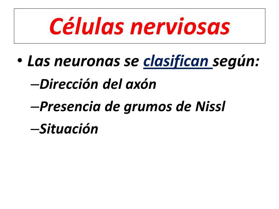 Las neuronas se clasifican según: – Dirección del axón – Presencia de grumos de Nissl – Situación