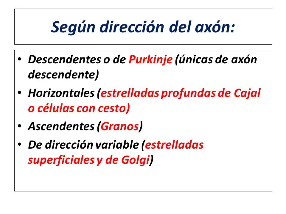Según dirección del axón: Descendentes o de Purkinje (únicas de axón descendente) Horizontales (estrelladas profundas de Cajal o células con cesto) As