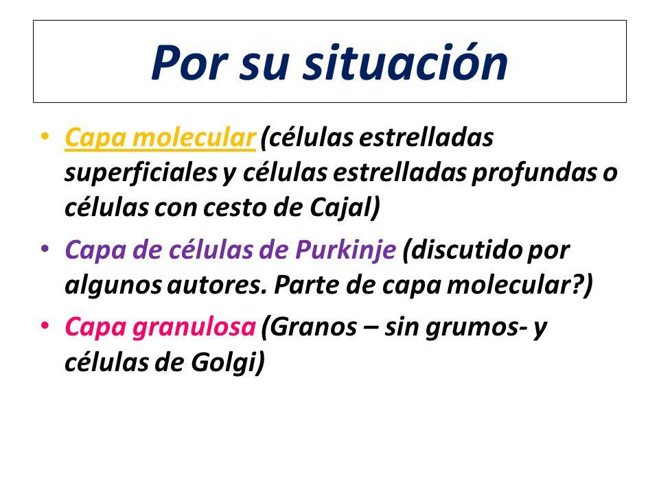 Por su situación Capa molecular (células estrelladas superficiales y células estrelladas profundas o células con cesto de Cajal) Capa de células de Pu