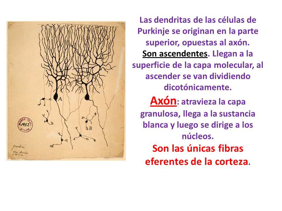 Las dendritas de las células de Purkinje se originan en la parte superior, opuestas al axón. Son ascendentes. Llegan a la superficie de la capa molecu