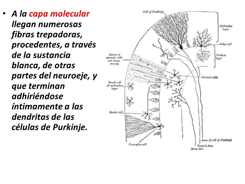 A la capa molecular llegan numerosas fibras trepadoras, procedentes, a través de la sustancia blanca, de otras partes del neuroeje, y que terminan adh
