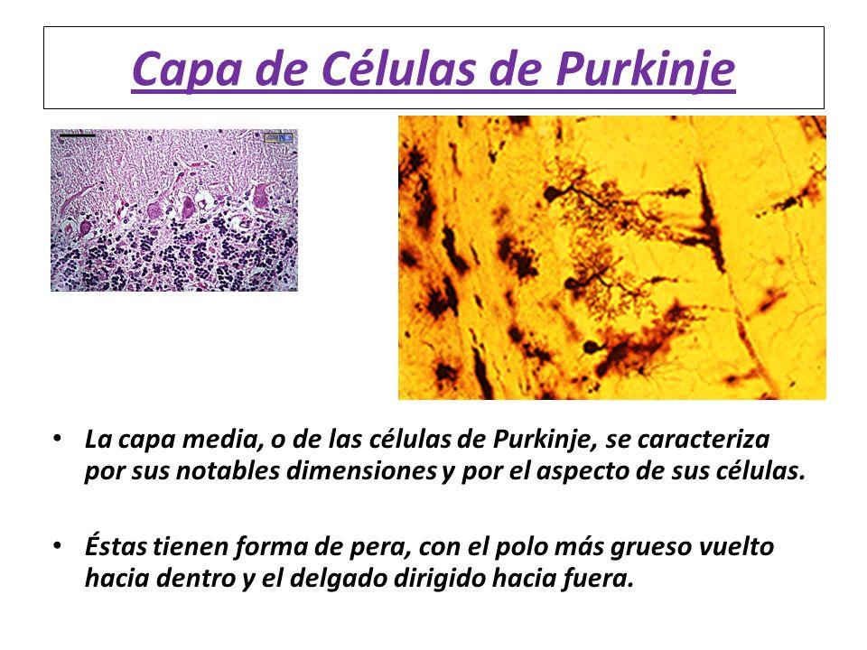 Capa de Células de Purkinje La capa media, o de las células de Purkinje, se caracteriza por sus notables dimensiones y por el aspecto de sus células.