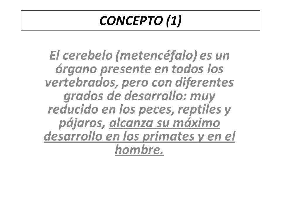 CONCEPTO (1) El cerebelo (metencéfalo) es un órgano presente en todos los vertebrados, pero con diferentes grados de desarrollo: muy reducido en los p