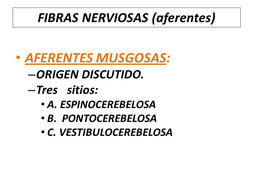 FIBRAS NERVIOSAS (aferentes) AFERENTES MUSGOSAS: – ORIGEN DISCUTIDO. – Tres sitios: A. ESPINOCEREBELOSA B. PONTOCEREBELOSA C. VESTIBULOCEREBELOSA