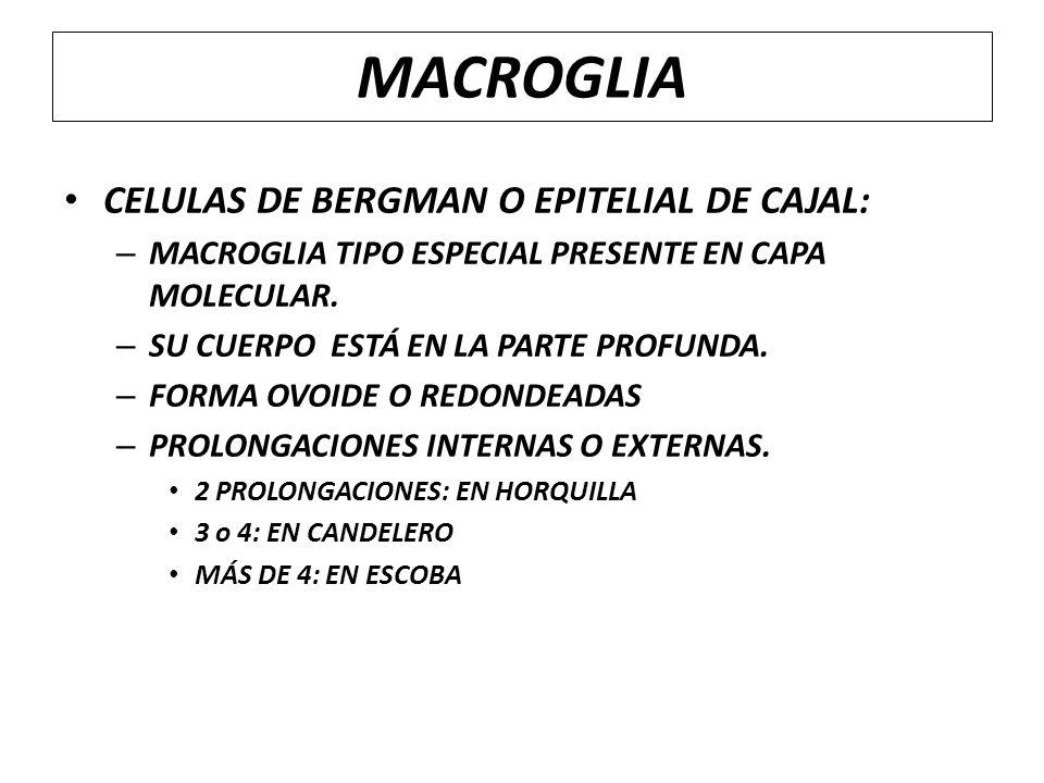 MACROGLIA CELULAS DE BERGMAN O EPITELIAL DE CAJAL: – MACROGLIA TIPO ESPECIAL PRESENTE EN CAPA MOLECULAR. – SU CUERPO ESTÁ EN LA PARTE PROFUNDA. – FORM
