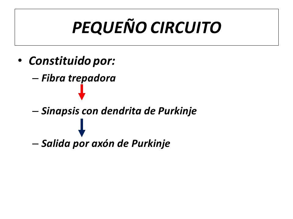 PEQUEÑO CIRCUITO Constituido por: – Fibra trepadora – Sinapsis con dendrita de Purkinje – Salida por axón de Purkinje