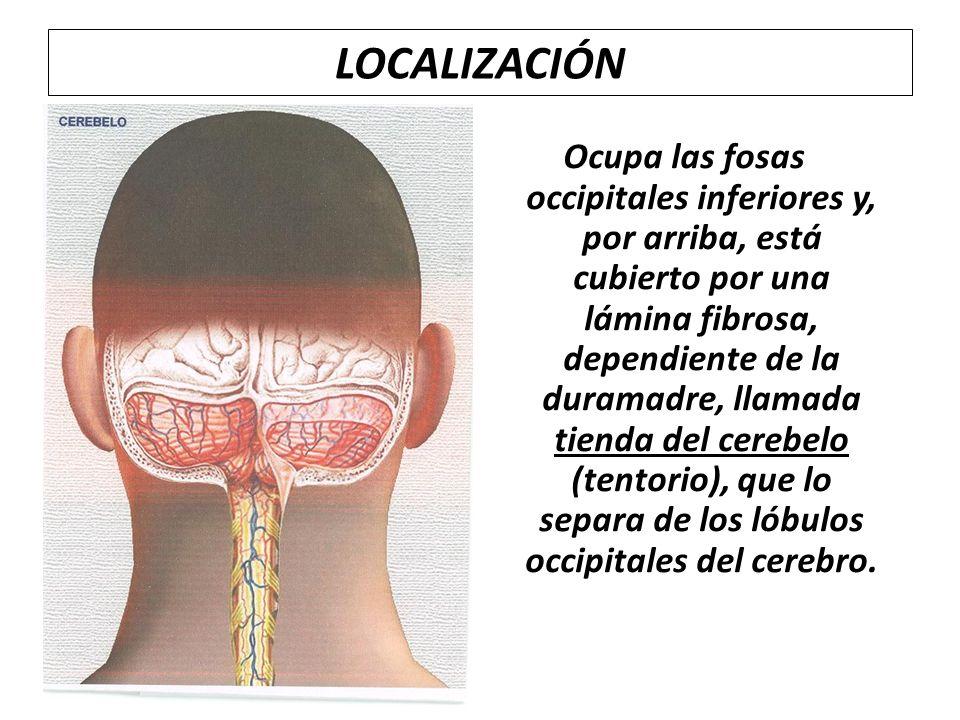 LOCALIZACIÓN Ocupa las fosas occipitales inferiores y, por arriba, está cubierto por una lámina fibrosa, dependiente de la duramadre, llamada tienda d