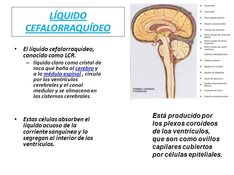 LÍQUIDO CEFALORRAQUÍDEO El líquido cefalorraquídeo, conocido como LCR. – líquido claro como cristal de roca que baña al cerebro y a la médula espinal,