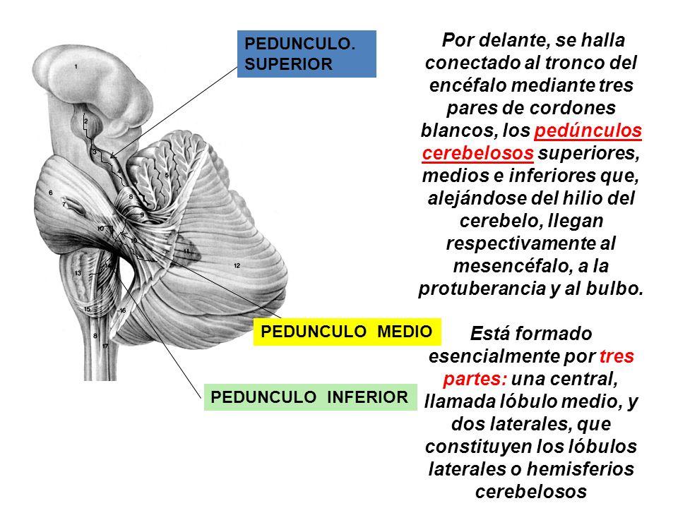 Por delante, se halla conectado al tronco del encéfalo mediante tres pares de cordones blancos, los pedúnculos cerebelosos superiores, medios e inferi