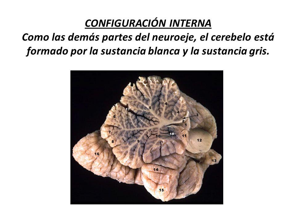 FIBRAS EFERENTES Son los axones de las células de purkinje, que se dirigen hacia los núcleos cerebelosos en su mayoría.