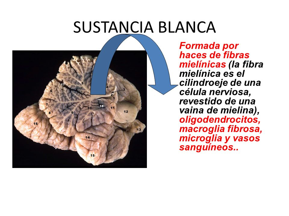 SUSTANCIA BLANCA Formada por haces de fibras mielínicas (la fibra mielínica es el cilindroeje de una célula nerviosa, revestido de una vaina de mielin