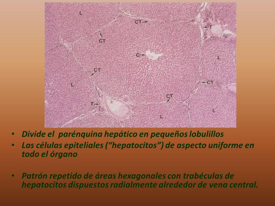 Divide el parénquina hepático en pequeños lobulillos Las células epiteliales (hepatocitos) de aspecto uniforme en todo el órgano Patrón repetido de ár