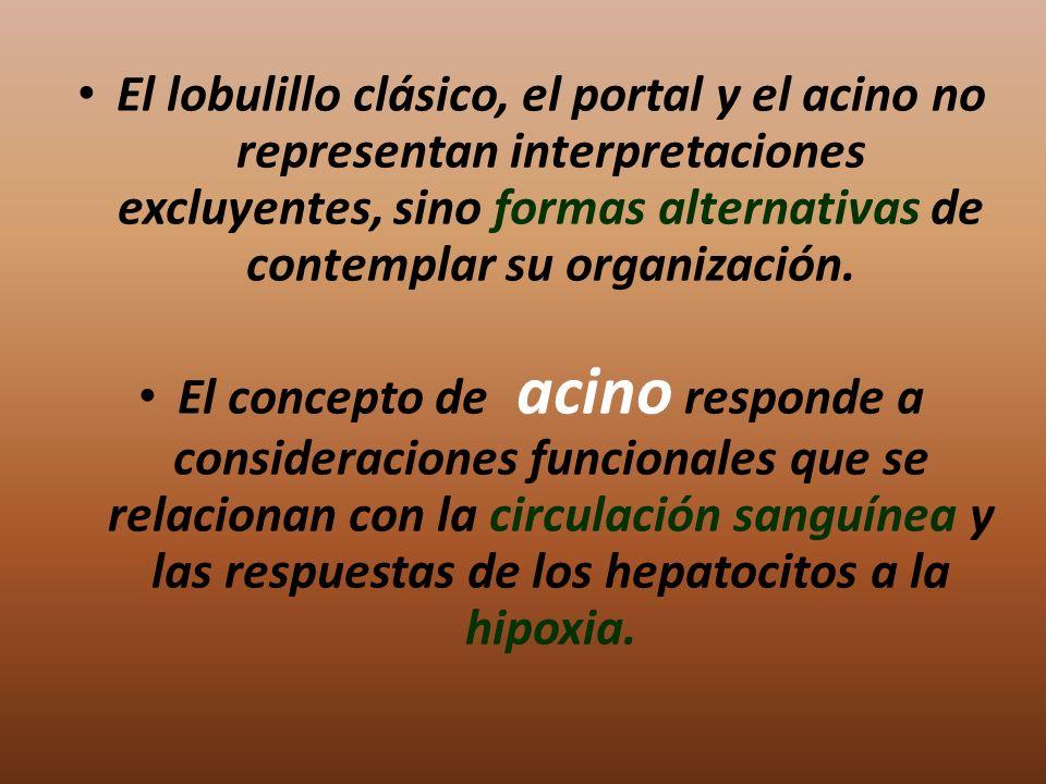 El lobulillo clásico, el portal y el acino no representan interpretaciones excluyentes, sino formas alternativas de contemplar su organización. El con