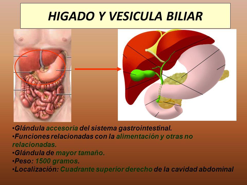 HIGADO Y VESICULA BILIAR Glándula accesoria del sistema gastrointestinal. Funciones relacionadas con la alimentación y otras no relacionadas. Glándula