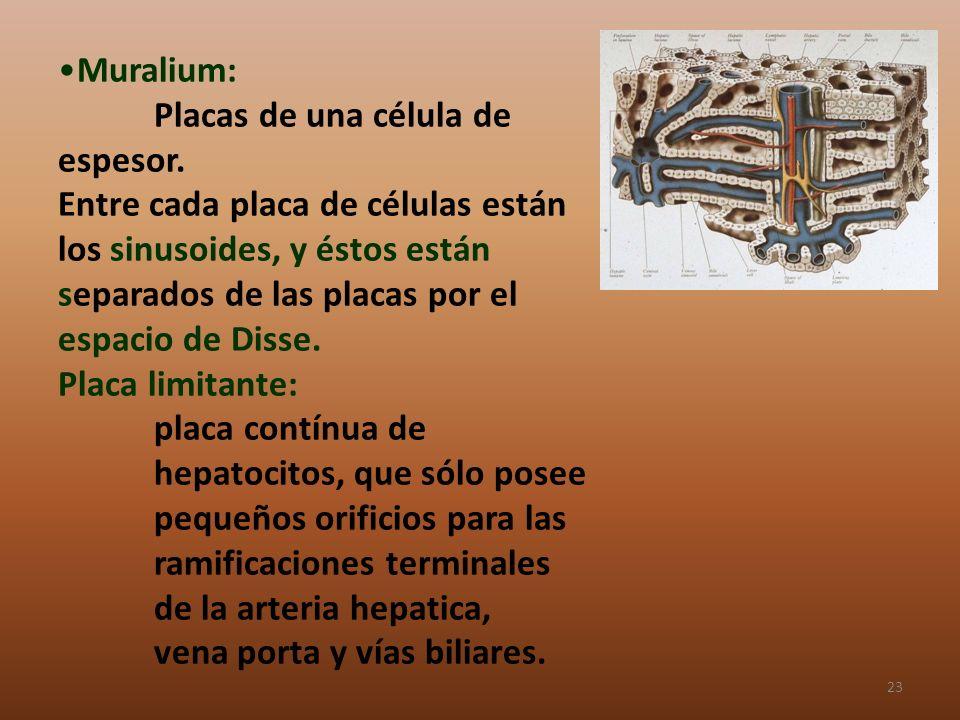 Muralium: Placas de una célula de espesor. Entre cada placa de células están los sinusoides, y éstos están separados de las placas por el espacio de D