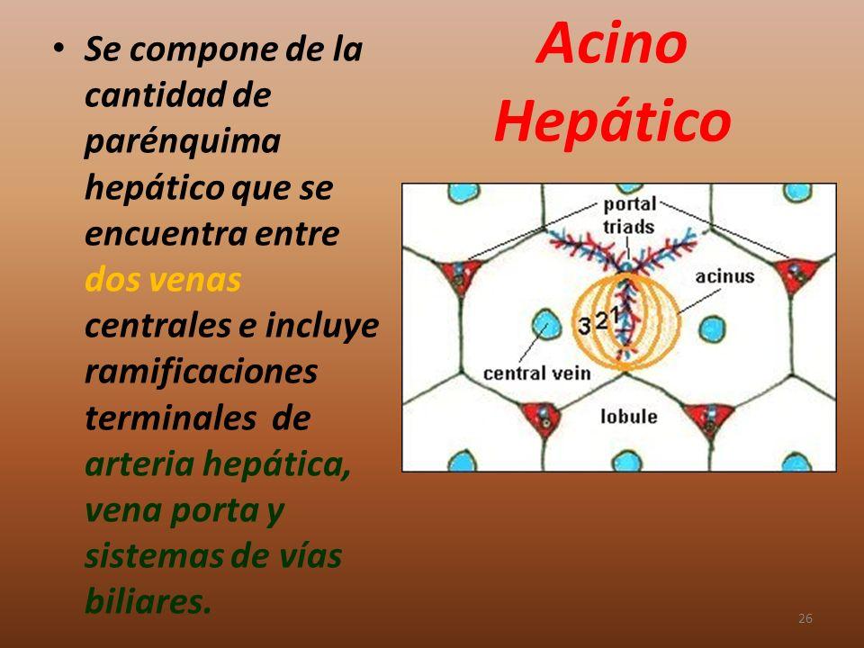 Acino Hepático Se compone de la cantidad de parénquima hepático que se encuentra entre dos venas centrales e incluye ramificaciones terminales de arte