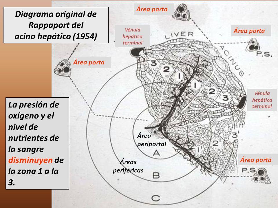 Diagrama original de Rappaport del acino hepático (1954) La presión de oxígeno y el nivel de nutrientes de la sangre disminuyen de la zona 1 a la 3. Á