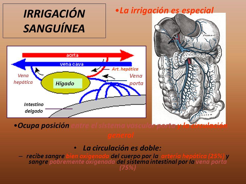 IRRIGACIÓN SANGUÍNEA Hígado Intestino delgado Vena porta Art. hepática Vena hepática La circulación es doble: – recibe sangre bien oxigenada del cuerp