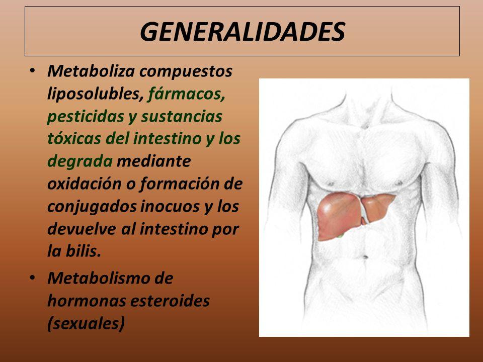 GENERALIDADES Metaboliza compuestos liposolubles, fármacos, pesticidas y sustancias tóxicas del intestino y los degrada mediante oxidación o formación
