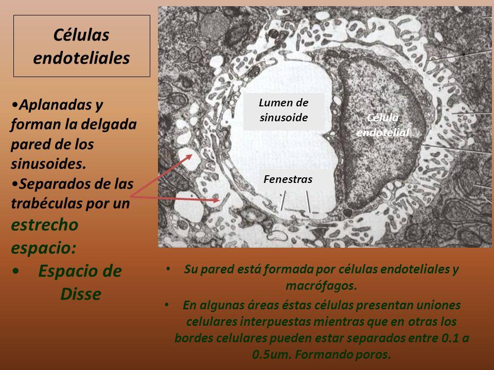 Su pared está formada por células endoteliales y macrófagos. En algunas áreas éstas células presentan uniones celulares interpuestas mientras que en o