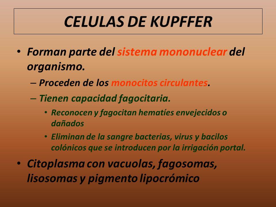 Forman parte del sistema mononuclear del organismo. – Proceden de los monocitos circulantes. – Tienen capacidad fagocitaria. Reconocen y fagocitan hem