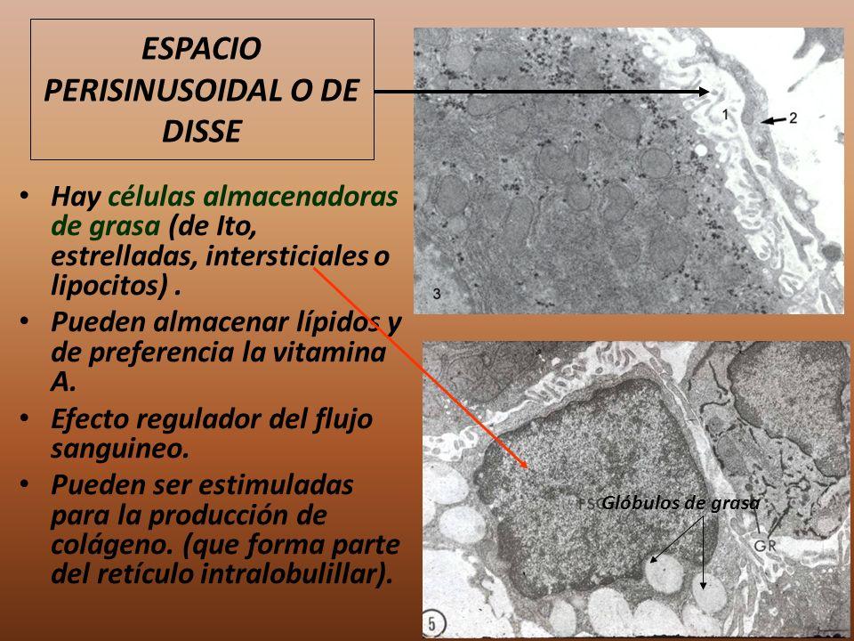 Hay células almacenadoras de grasa (de Ito, estrelladas, intersticiales o lipocitos). Pueden almacenar lípidos y de preferencia la vitamina A. Efecto