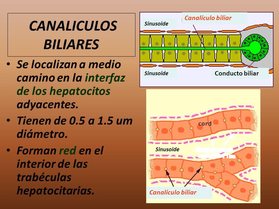 CANALICULOS BILIARES Se localizan a medio camino en la interfaz de los hepatocitos adyacentes. Tienen de 0.5 a 1.5 um diámetro. Forman red en el inter