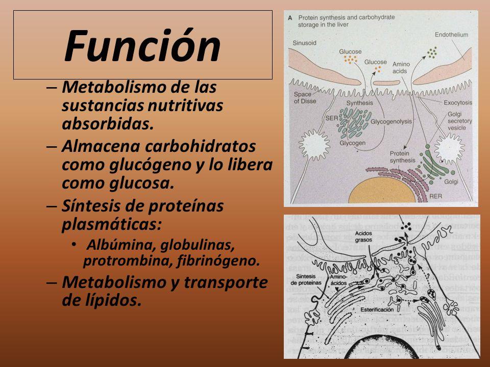 Función – Metabolismo de las sustancias nutritivas absorbidas. – Almacena carbohidratos como glucógeno y lo libera como glucosa. – Síntesis de proteín