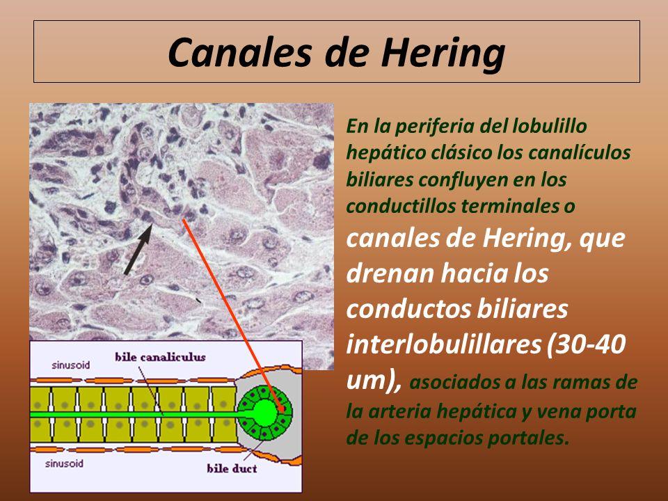 Canales de Hering En la periferia del lobulillo hepático clásico los canalículos biliares confluyen en los conductillos terminales o canales de Hering