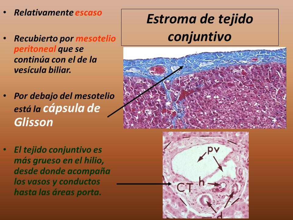 Estroma de tejido conjuntivo Relativamente escaso Recubierto por mesotelio peritoneal que se continúa con el de la vesícula biliar. Por debajo del mes