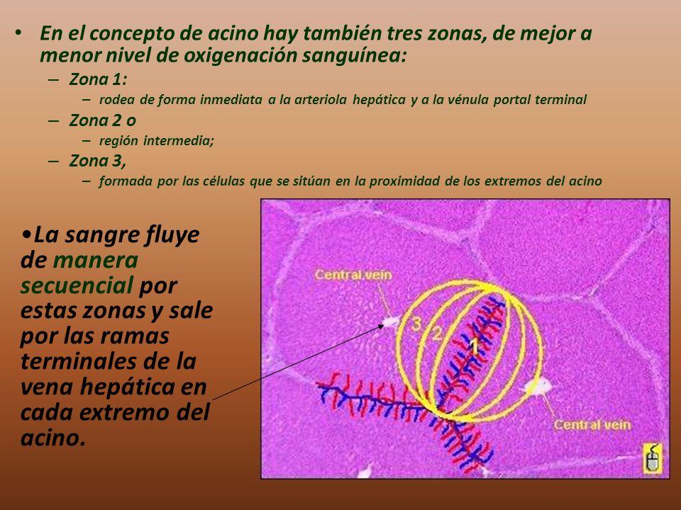 En el concepto de acino hay también tres zonas, de mejor a menor nivel de oxigenación sanguínea: – Zona 1: – rodea de forma inmediata a la arteriola h