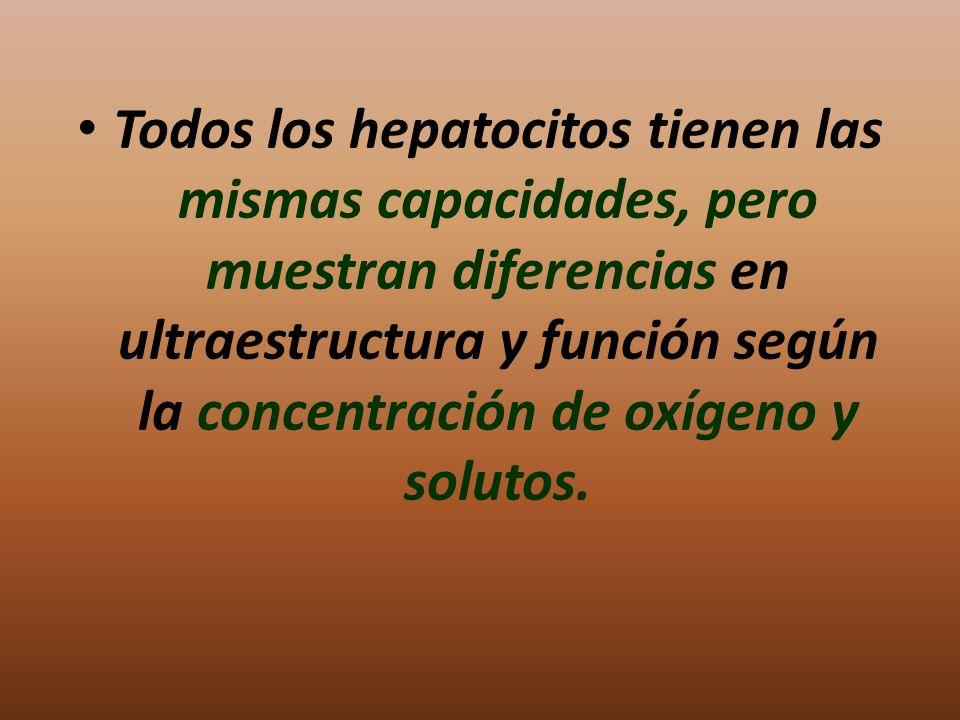 Todos los hepatocitos tienen las mismas capacidades, pero muestran diferencias en ultraestructura y función según la concentración de oxígeno y soluto
