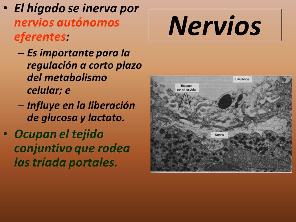 Nervios El hígado se inerva por nervios autónomos eferentes: – Es importante para la regulación a corto plazo del metabolismo celular; e – Influye en