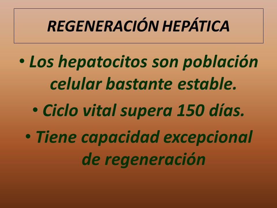 REGENERACIÓN HEPÁTICA Los hepatocitos son población celular bastante estable. Ciclo vital supera 150 días. Tiene capacidad excepcional de regeneración